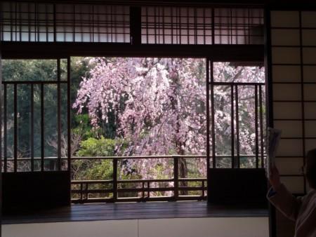隠れた花見スポットです!!(千駄木 旧安田邸にて・・・)