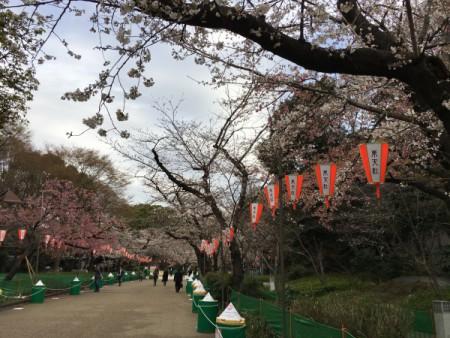 咲き始めました!!(上野公園にて・・・)