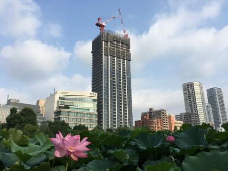 蓮の花、開花がピークに!!(上野不忍の池にて・・・)